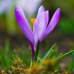 Violet Crocus